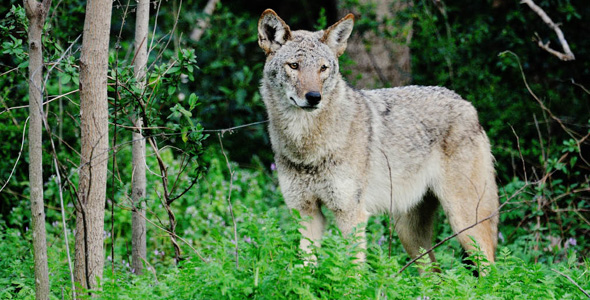 Coyote (photo by Robert Bunch)
