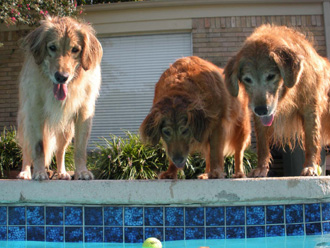 Golden retrievers Bella, Tex and Zoie keep their eyes on the prize.