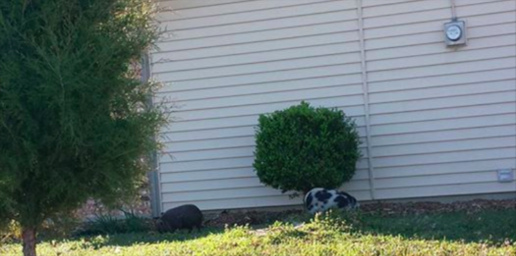 Runaway pigs (photo from Facebook)