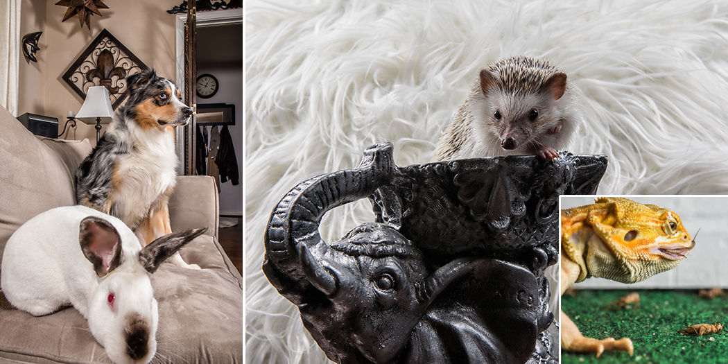 From left: Marley the dog and Henry the rabbit cuddle on the couch; Cali the hedgehog strikes a pose; Maui the bearded dragon on the hunt. (Photo by Danny Fulgencio)