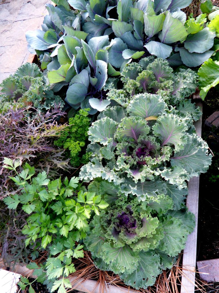 Raised bed of veggies