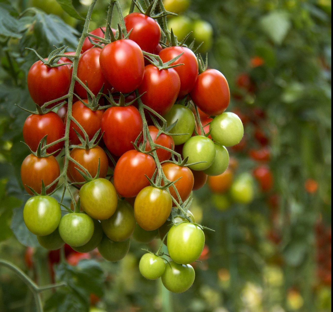 Cluster of tomatoes.