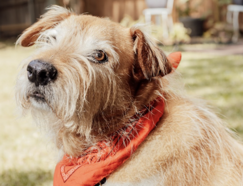 Lake Highlands pet Nelson is perfectly chill